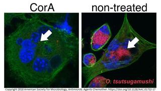 Corallopyronin A inhibits intracellular growth of Orientia tsutsugamushi.