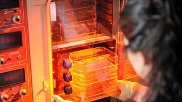 Cell cultures in an incubator